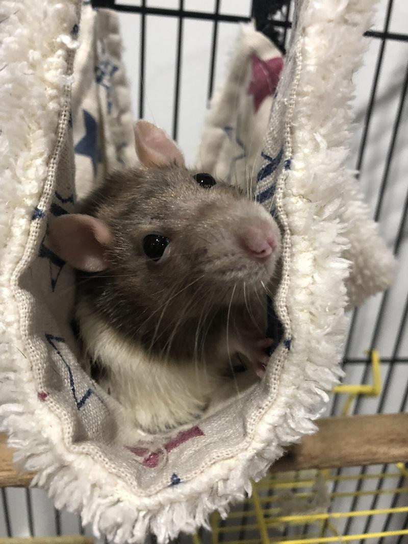 Miss Rattius - Inspector Emma's rat