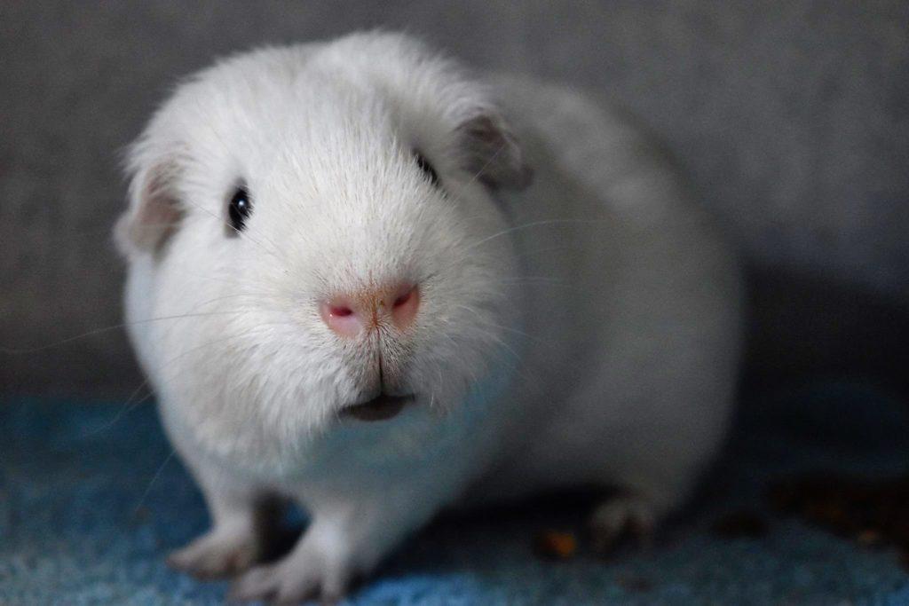 Adopt a guinea pig from RSPCA SA